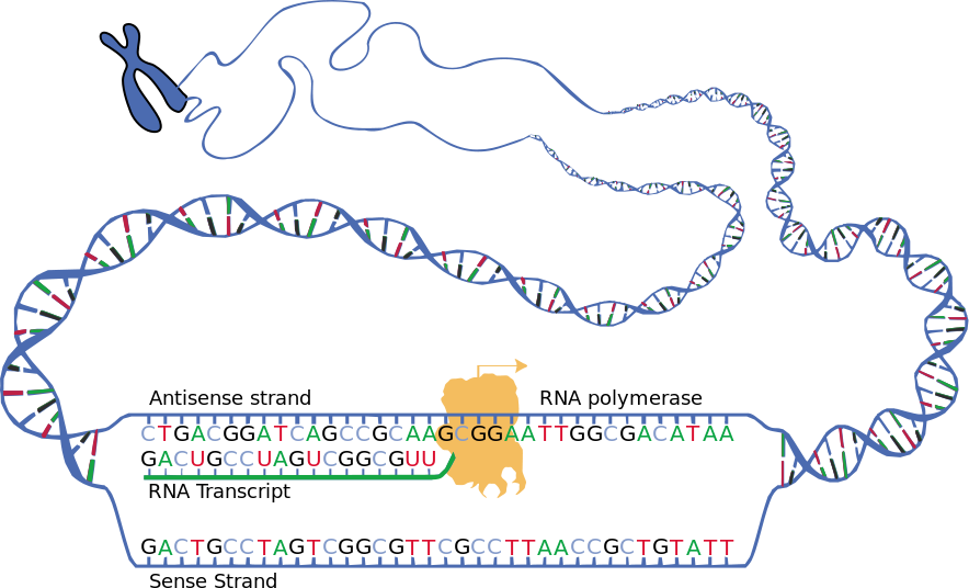 DNA_transcription