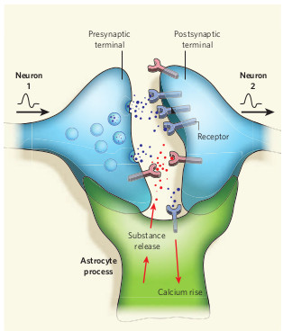synapse where neuron 1 signals neuron 2